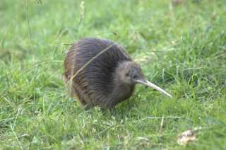 Kiwis' Breeding Season