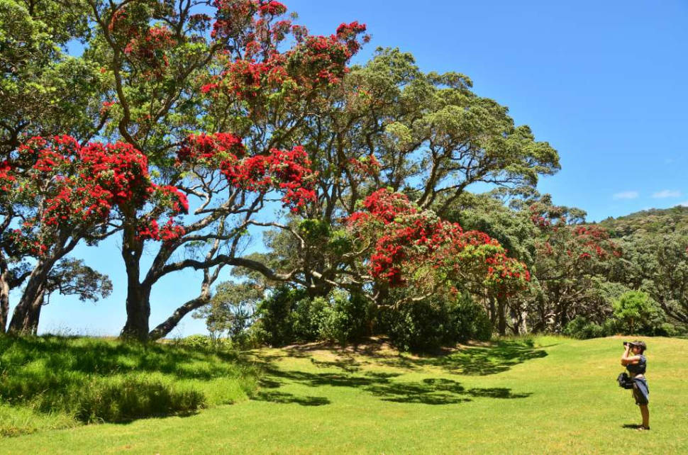 Best time for Pohutukawa Tree in New Zealand