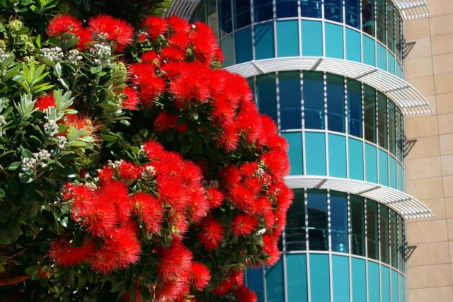 Pohutukawa Tree in New Zealand - Best Season