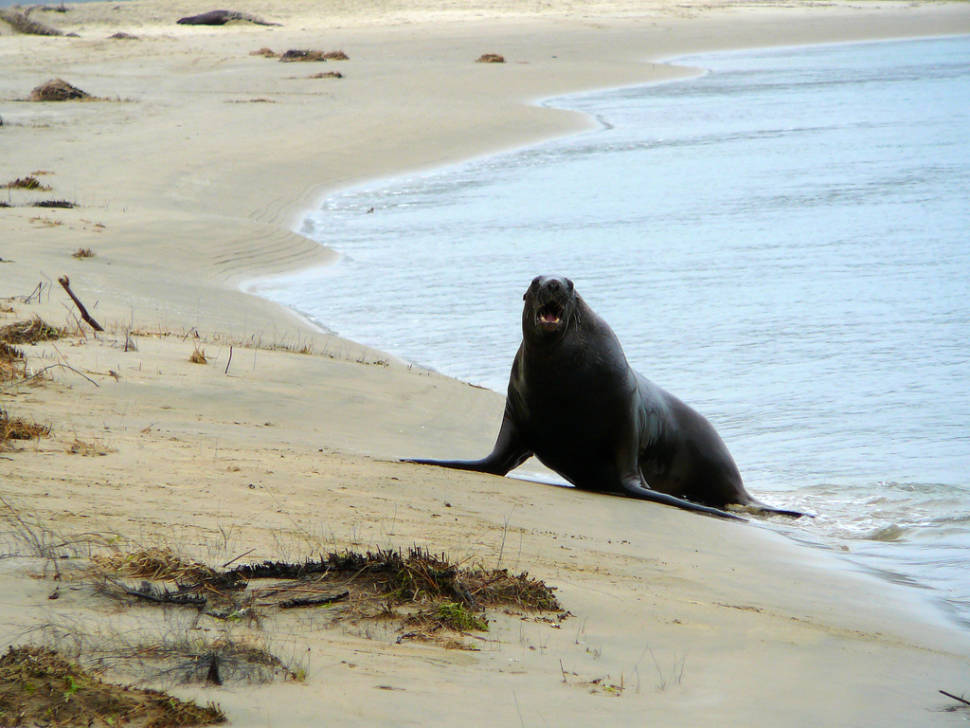 Best time for Sea Lions Breeding Season in New Zealand