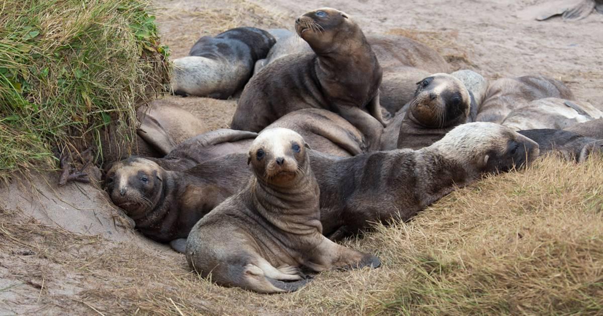 Sea Lions Breeding Season in New Zealand - Best Time