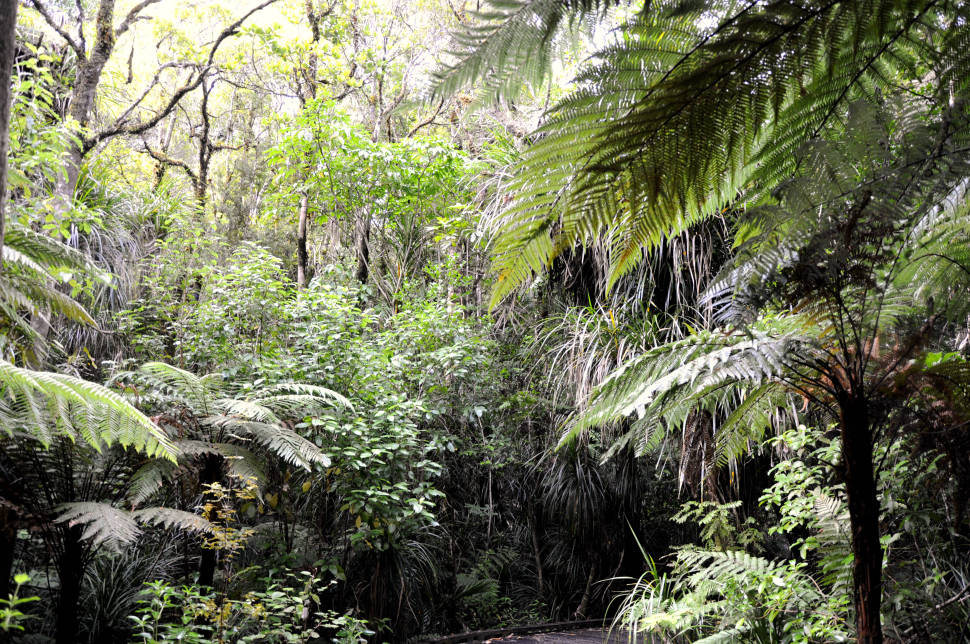 The jungle inside Waipoua Forest