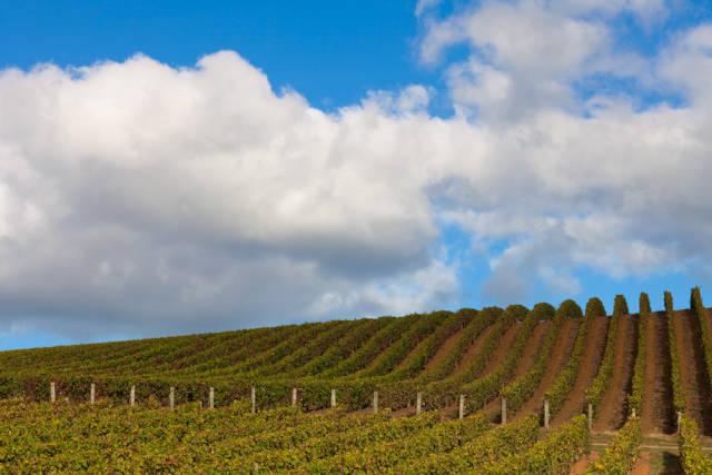 Wine Harvest in New Zealand - Best Season