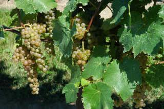 Grape (Wine) Harvest
