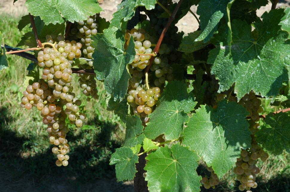 Grape (Wine) Harvest in Niagara Falls - Best Time