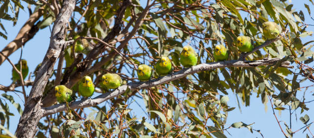 Best time for Budgie Tornado in Northern Territory