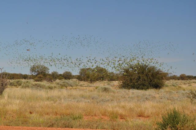 Best time to see Budgie Tornado