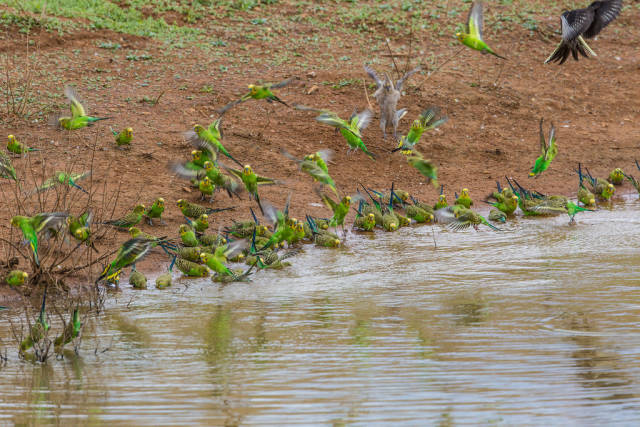 Best time to see Budgie Tornado in Northern Territory