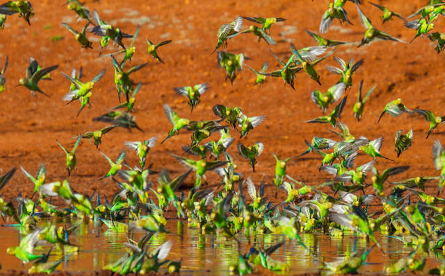 Budgie Tornado in Northern Territory - Best Time