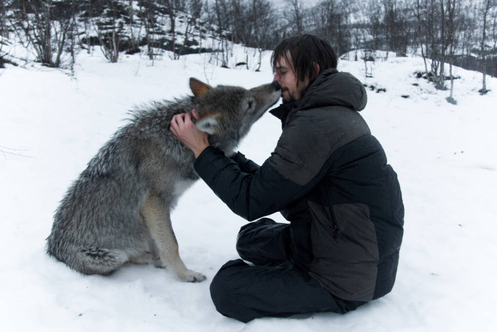 A Kiss from an Arctic Wolf in Norway - Best Time