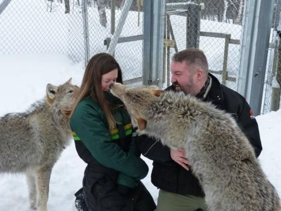 A Kiss from an Arctic Wolf in Norway - Best Season