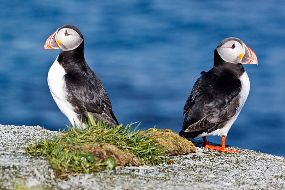 Atlantic Puffin in Norway - Best Season