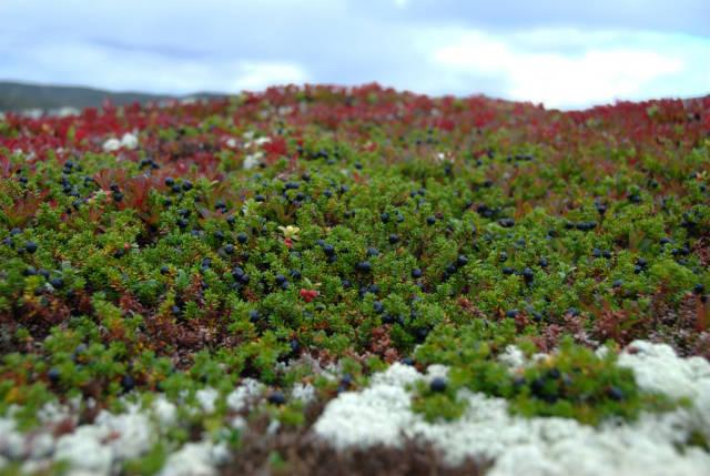 Crowberries, Krekling or Krøkebær in Norway - Best Season