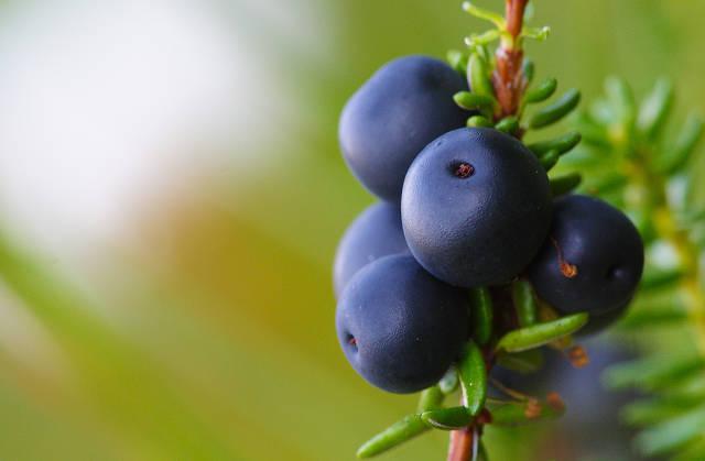Crowberries, Krekling or Krøkebær in Norway - Best Time