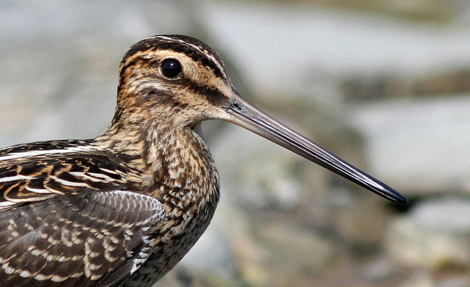 Great Snipe in Norway - Best Time