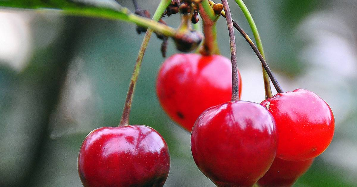 Morello Cherries or Moreller in Norway - Best Time
