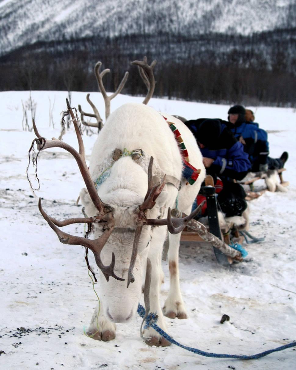 Reindeer Sledding and Sami Culture in Norway - Best Season