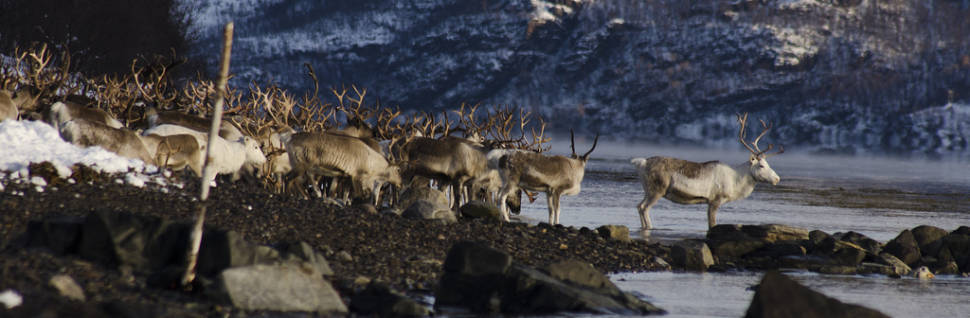 Best time for Reindeer Migration in Norway