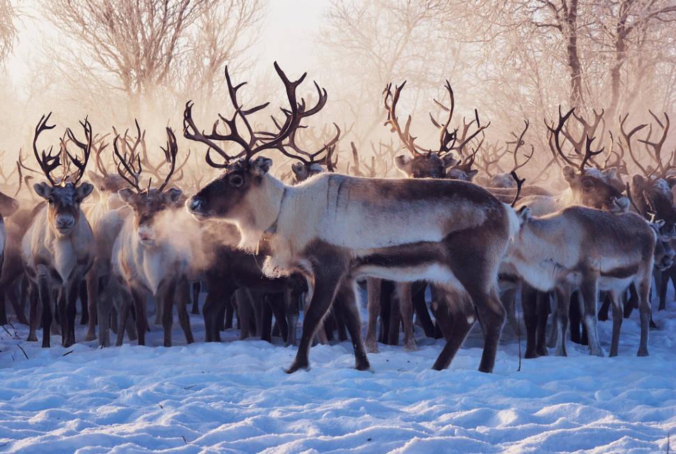 Reindeer Migration in Norway - Best Time