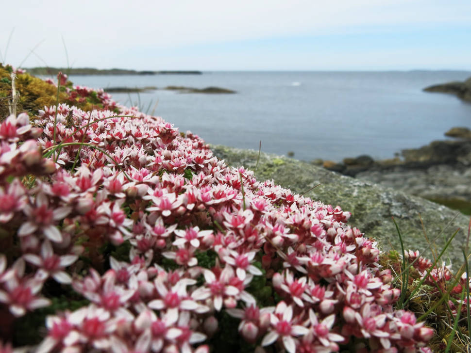 Wild Flowers in Norway - Best Season