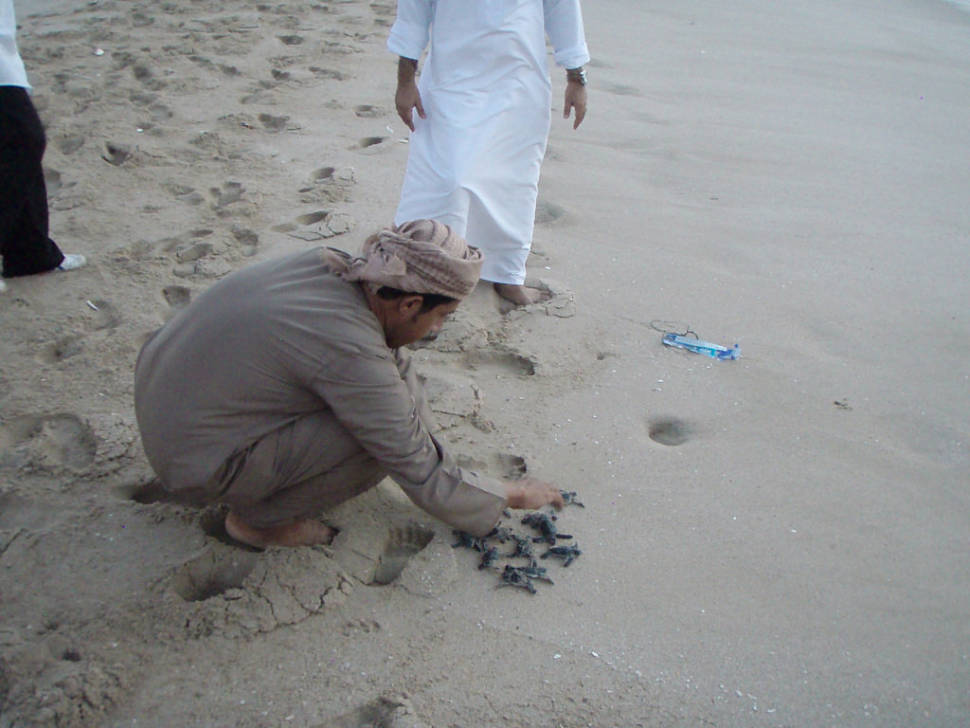 Baby turtles being released at Ras al-Jinz turtle reserve. These ones had been picked up from a car park by local fishermen