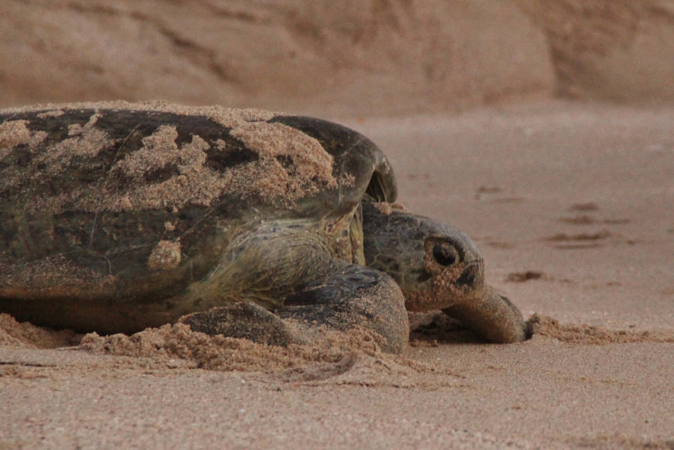 Turtle at Ras Al Hadd