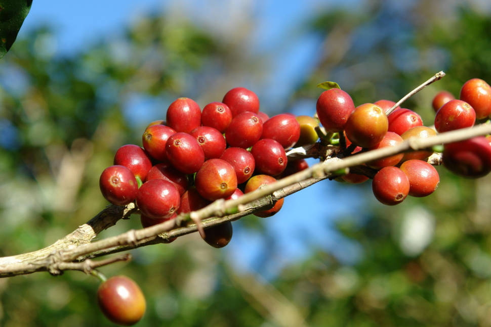Best time for Coffee Picking Season in Panama