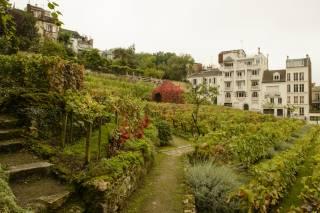 Harvest in Montmartre Vineyard