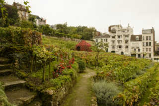 Harvest in Montmartre Vineyard