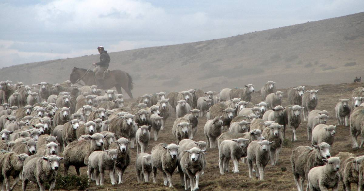 Grazing Sheep in Patagonia - Best Time