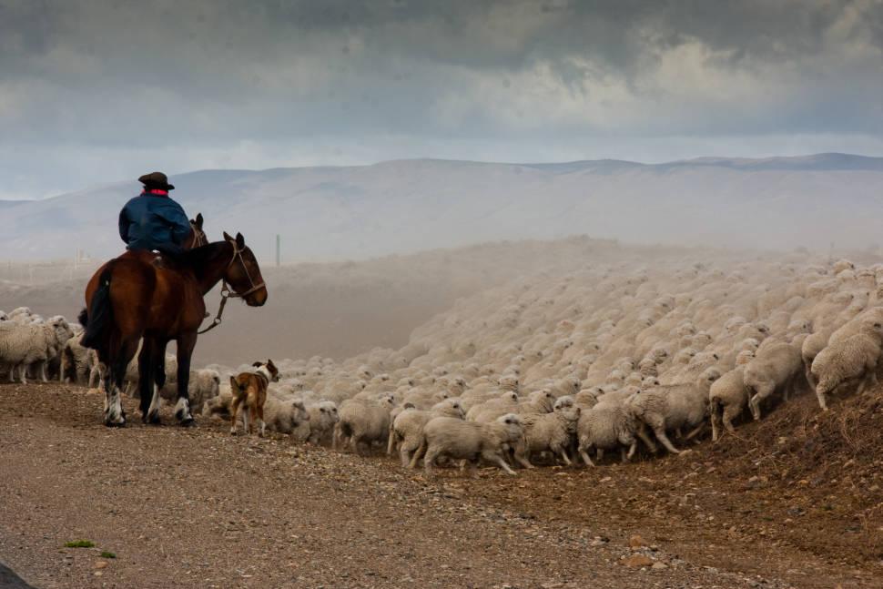 Grazing Sheep in Patagonia - Best Season