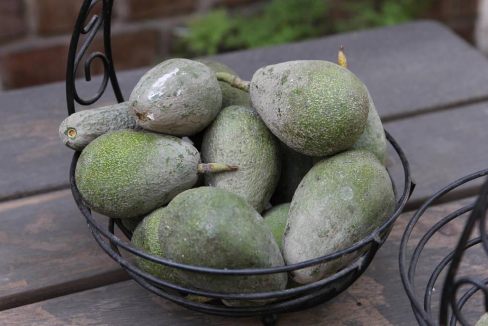 Avocado in Peru - Best Time