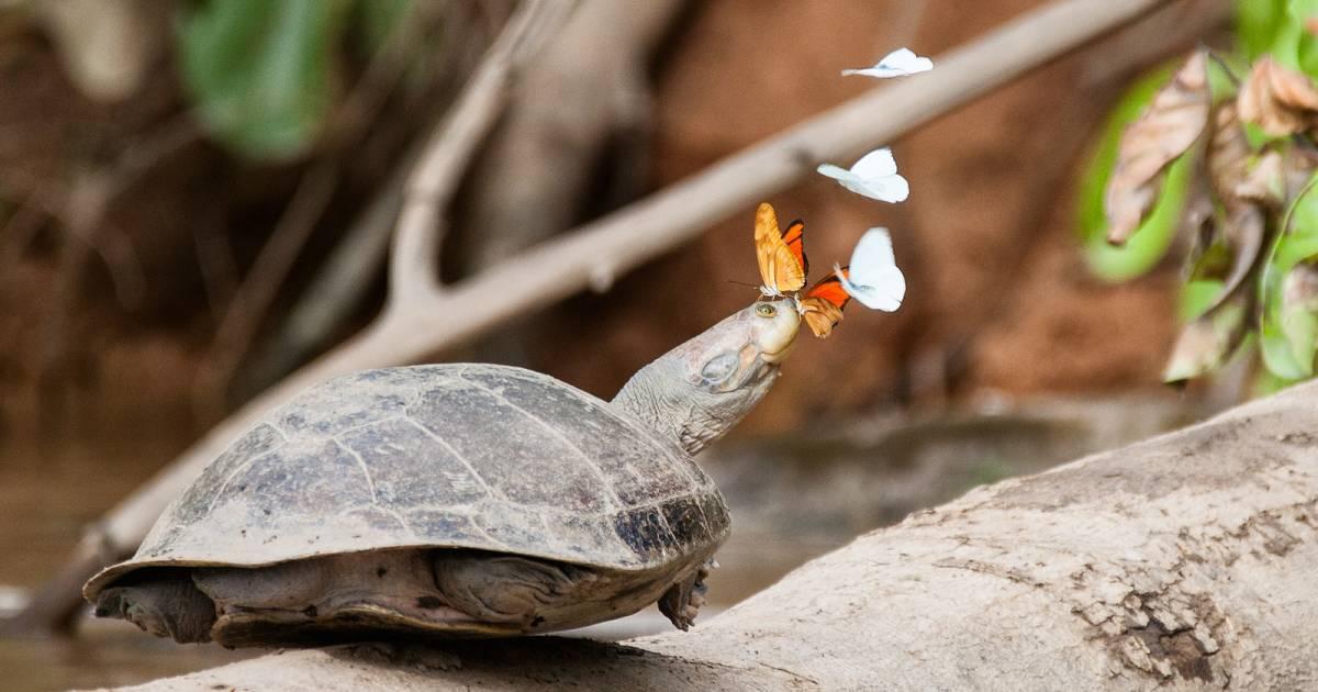 Butterflies Drinking Turtle Tears in Peru - Best Time