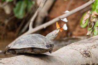 Butterflies Drinking Turtle Tears