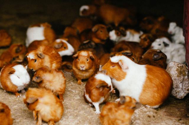 Guinea Pig Festival in Peru - Best Time