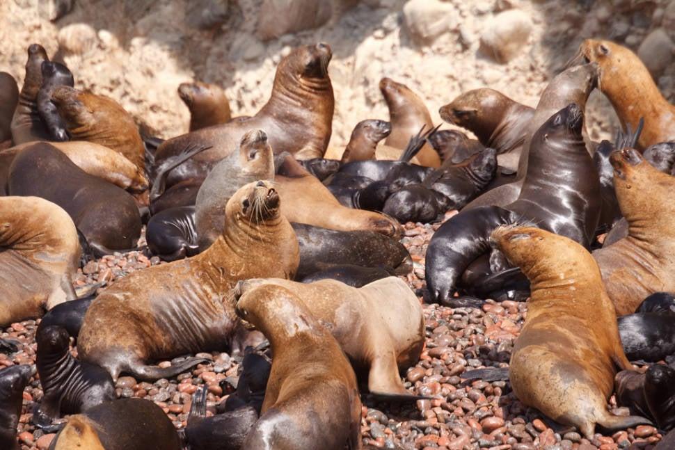 Marine Fauna of the Ballestas Islands in Peru - Best Season