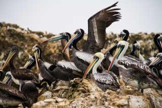 Marine Fauna of the Ballestas Islands