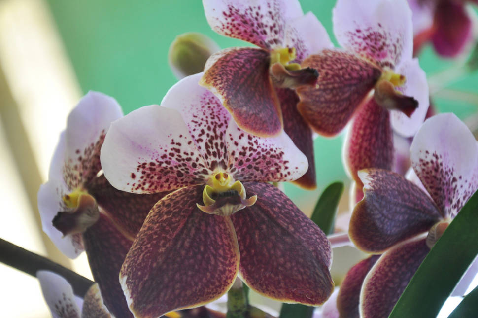 Waling-Waling Orchid in Philippines - Best Time