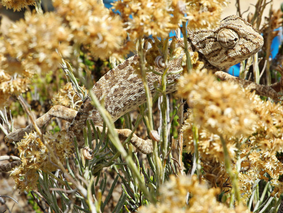 Chameleons and Other Reptiles in Algarve in Portugal - Best Season