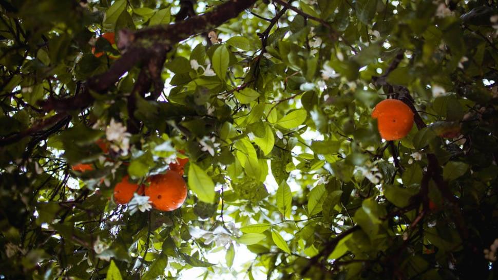 Orange Blossom in Portugal - Best Season