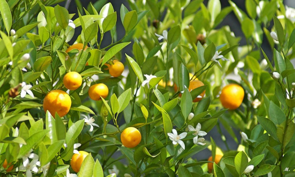 Orange Blossom in Portugal - Best Time