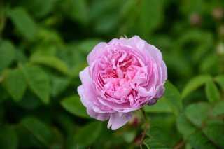 Centifolia Rose and Jasmine Harvest