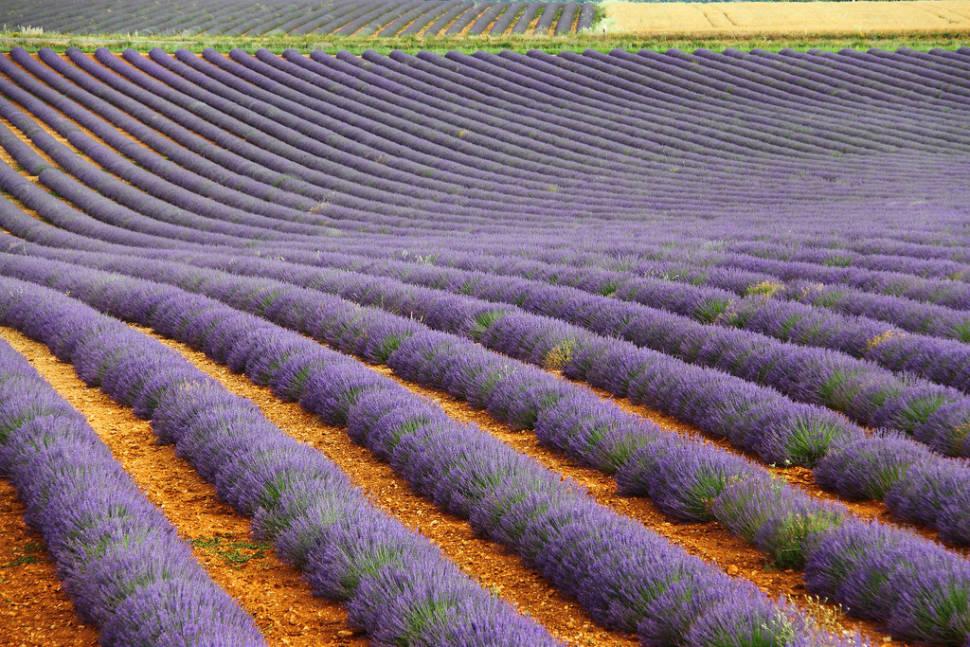 Lavender Fields in Bloom in Provence & French Riviera - Best Season