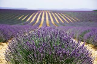 Lavender Fields in Bloom