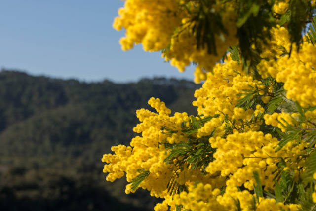 Mimosa Route in Provence & French Riviera - Best Time
