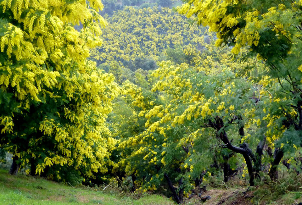 Best time for Mimosa Route in Provence & French Riviera