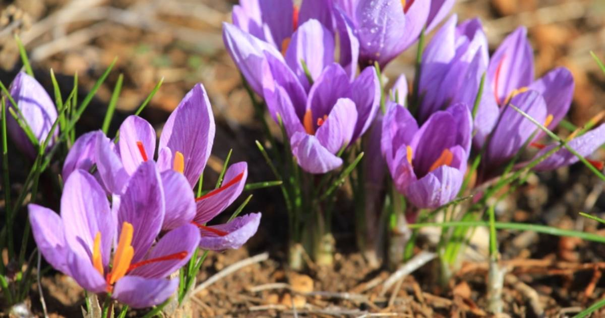 Saffron Farms in Provence & French Riviera - Best Time