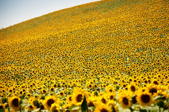 Best time for Sunflowers in Bloom in Provence & French Riviera