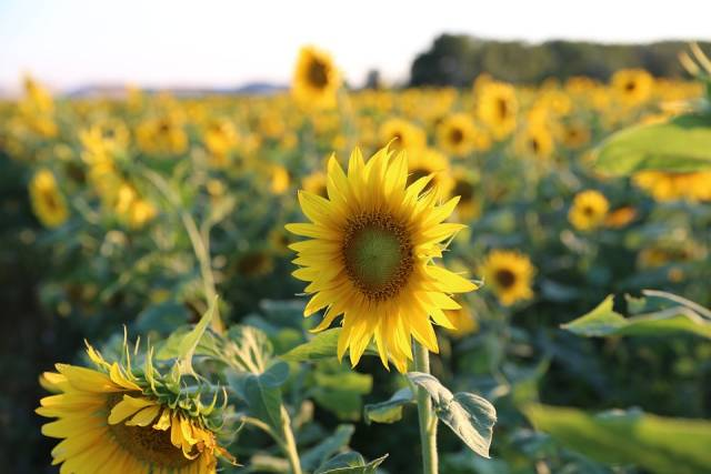Sunflowers in Bloom in Provence & French Riviera - Best Time