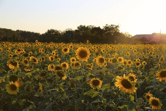 Sunflowers in Bloom in Provence & French Riviera - Best Season